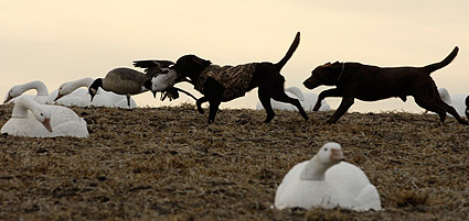 Do too many dogs in the spread make geese wary?