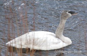 How can I tell if the swan I see is sick?