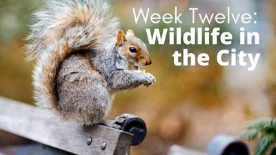 Audubon at Home: Week Twelve - Wildlife in the City