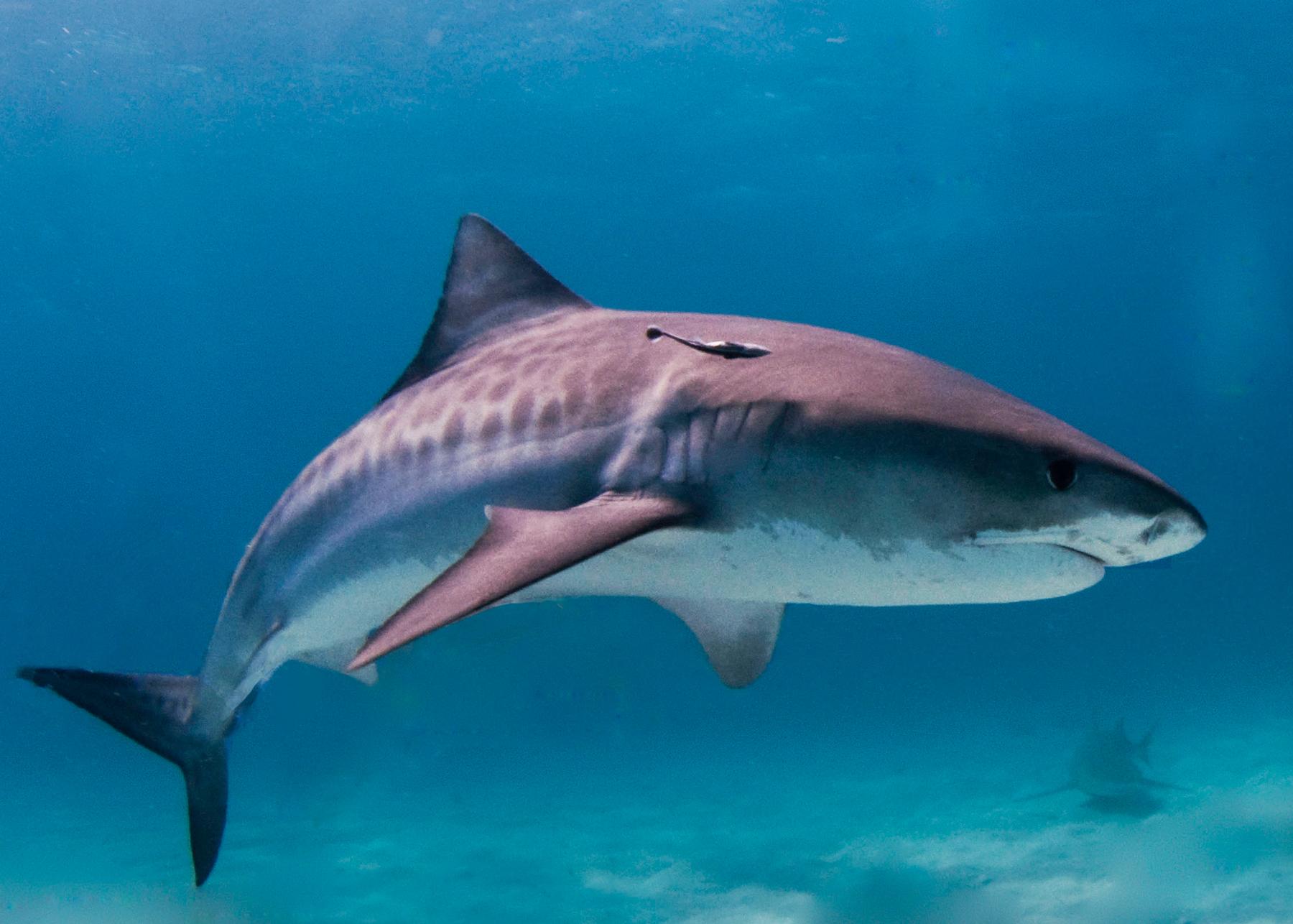 Aug 5-9: Shark Week