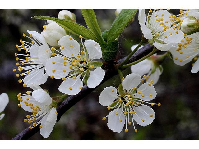 """American Plum - Pack of 5 seedlings (12""""-18"""")"""