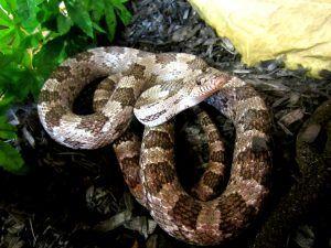 Sancho the Gray Rat Snake