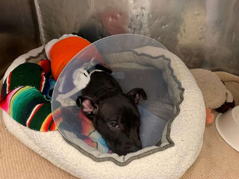 3-month-old puppy recovering after reportedly being lit on fire with blowtorch