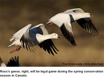 Canada Loosens Goose Limits