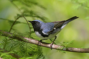 Beak of the Week: Black-throated Blue Warbler