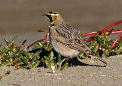 Beak of the Week: Horned Lark