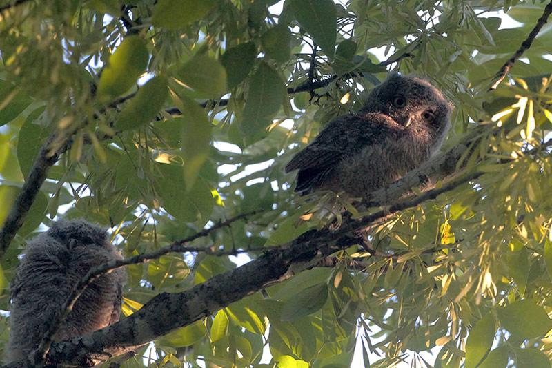 Eastern Screech-Owlets