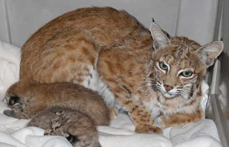 Bobcat mother with kittens Southwest Wildlife Conservation Center