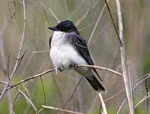 Beak of the Week: Eastern Kingbird