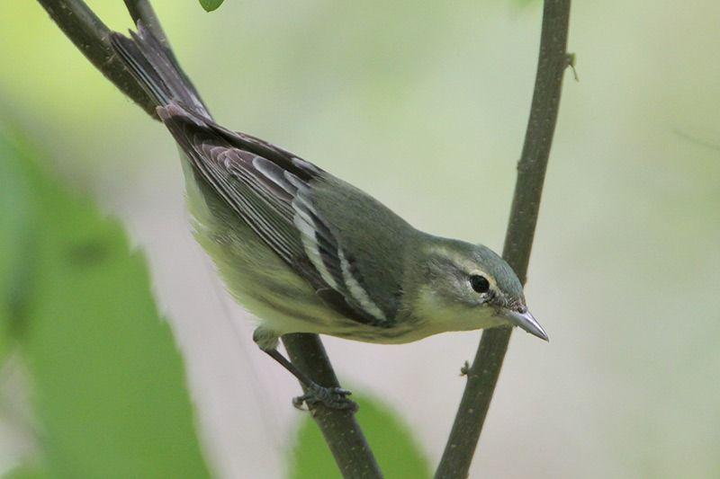 Cerulean Warbler (female)