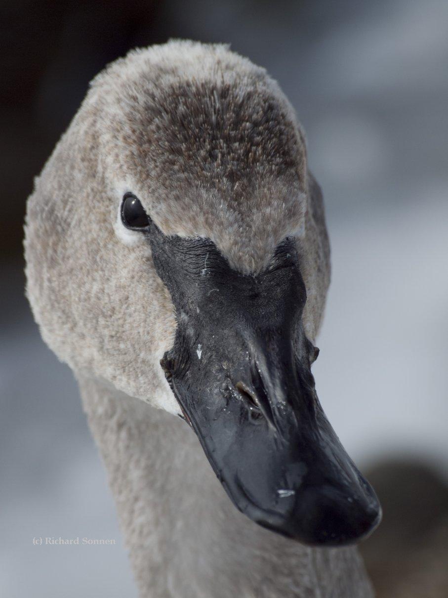 Wintering Trumpeter Swan cygnet