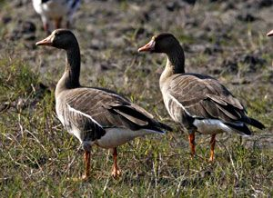 Beak of the Week: Greater White-fronted Goose