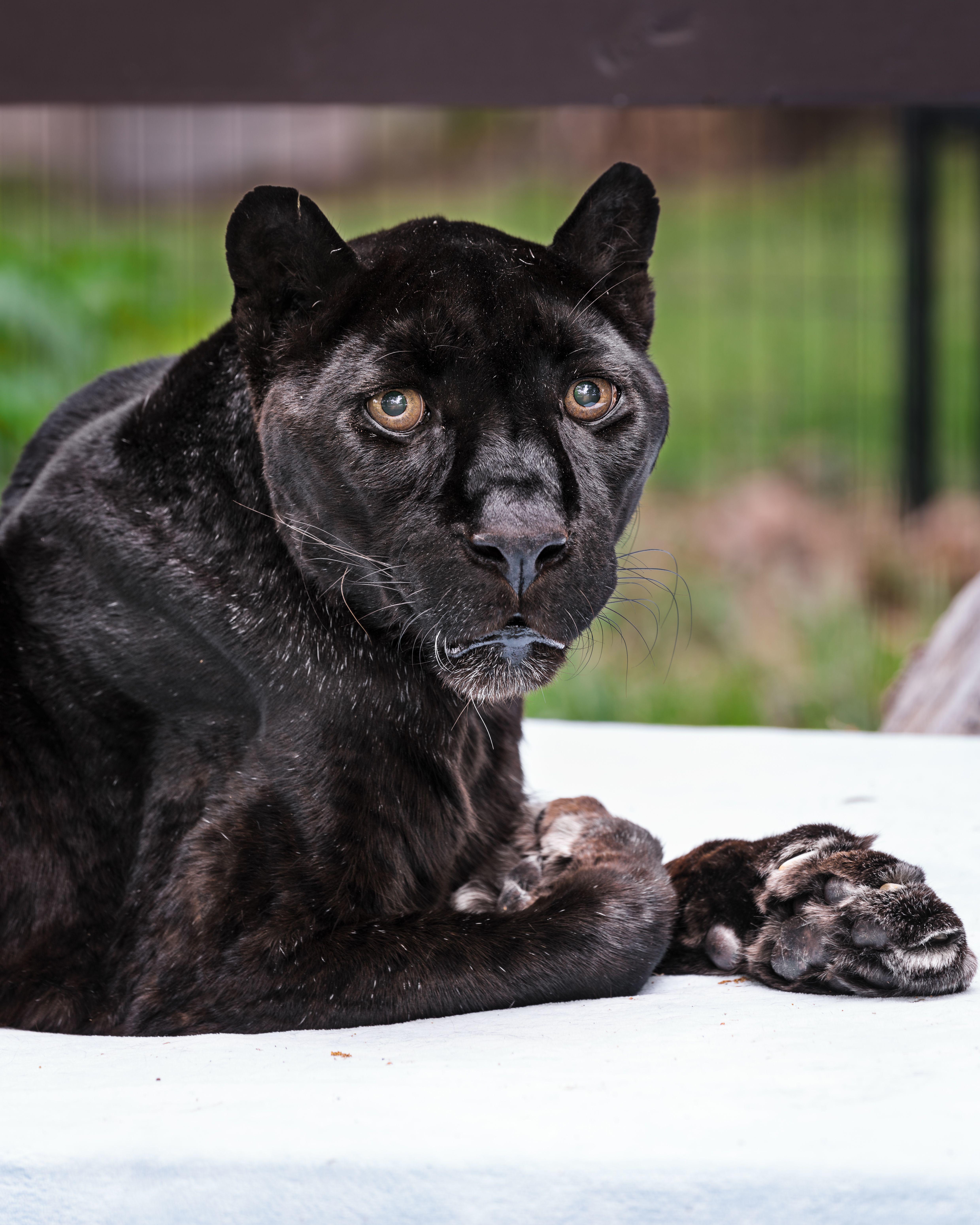Raven Named Oldest Living Leopard