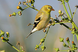 American Goldfinch (winter plumage)