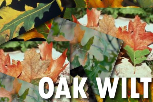 CNC: Oak Wilt Online Workshop