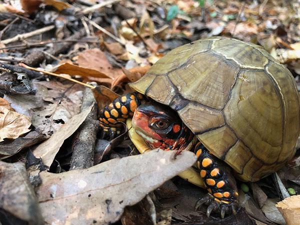 Rain Brings Out Box Turtles