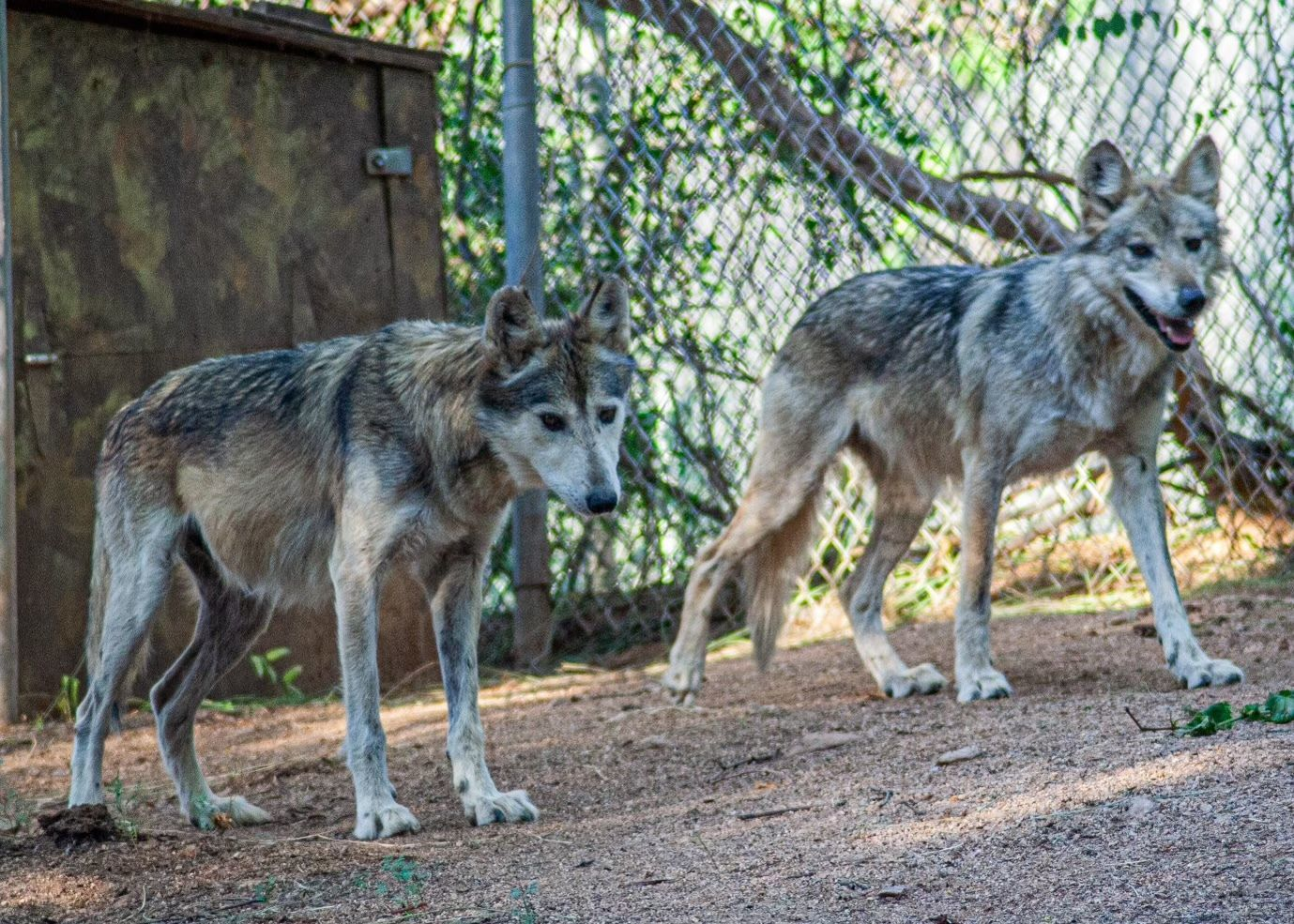 Two Wolves Join the Southwest Pack: M1228 and F1217