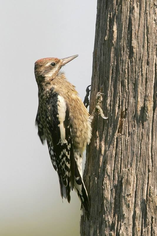 Yellow-bellied Sapsucker juvenile
