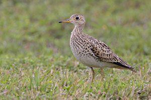 Beak of the Week: Upland Sandpiper