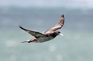 Northern Gannet (juvenile)