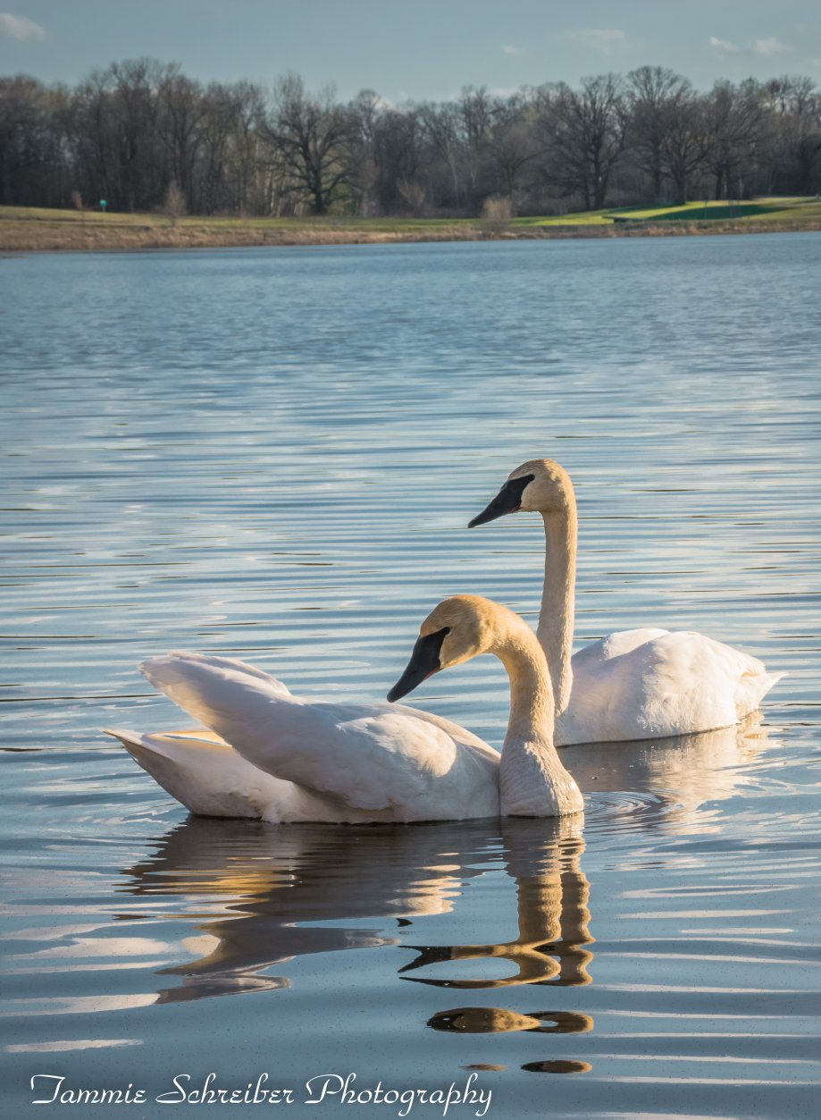 My Swan Story by Tammie S.