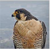 Live Falcon Camera in Austin