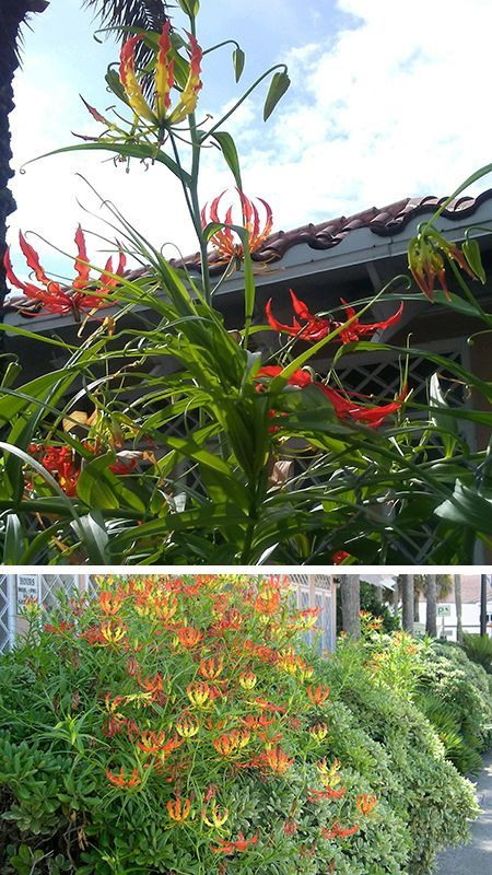 Our Resilient Gloriosa Lilies