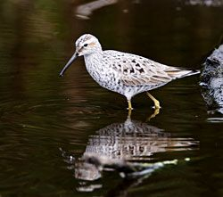 Beak of the Week: Stilt Sandpiper