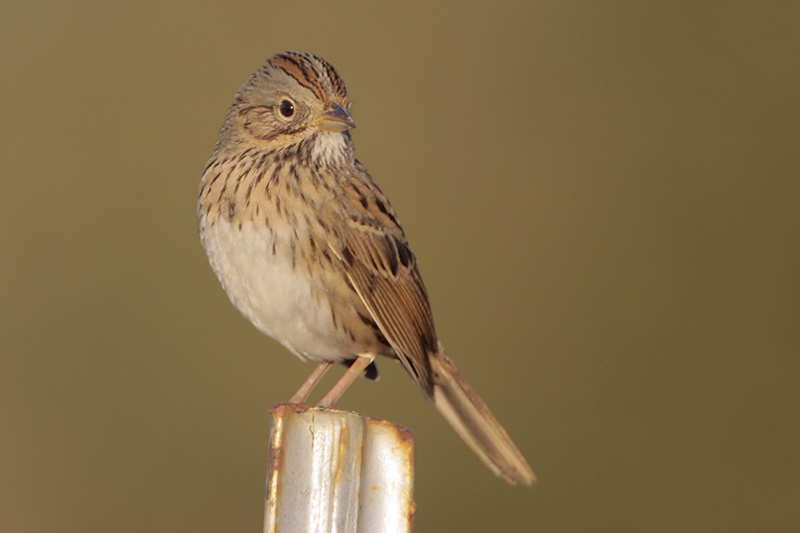Beak of the Week: Lincoln's Sparrow