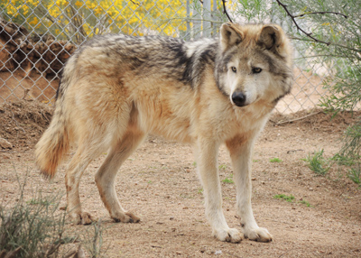 Mexican gray wolf Southwest Wildlife