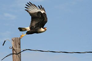 Crested Caracara by Bob Honig