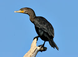 Beak of the Week: Double-crested Cormorant