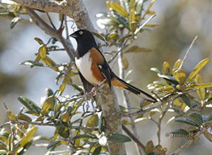 Beak of the Week: Eastern Towhee
