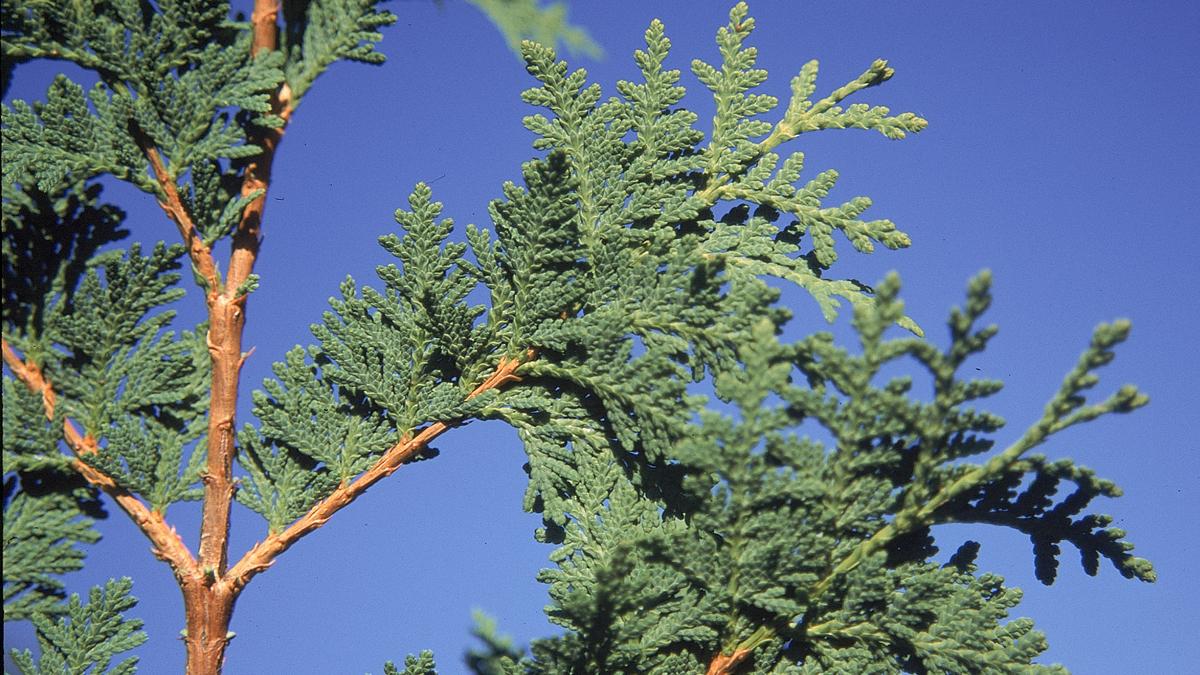 """Eastern White Cedar Pack of 25 Seedlings (6""""-9"""")"""