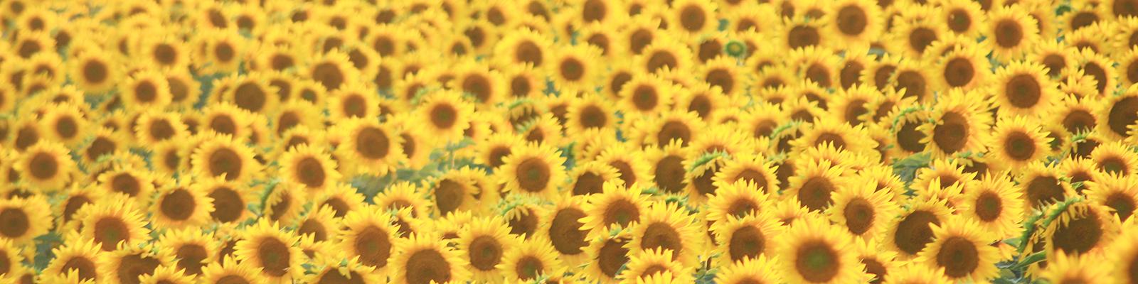 Photo of field of sunflowers