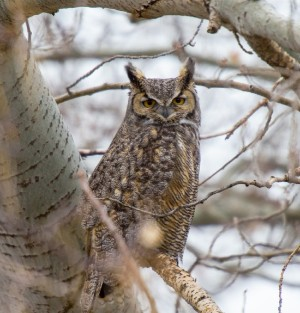 Owl prowls Birding Things to Do November Events Family Audubon Society of Rhode Island