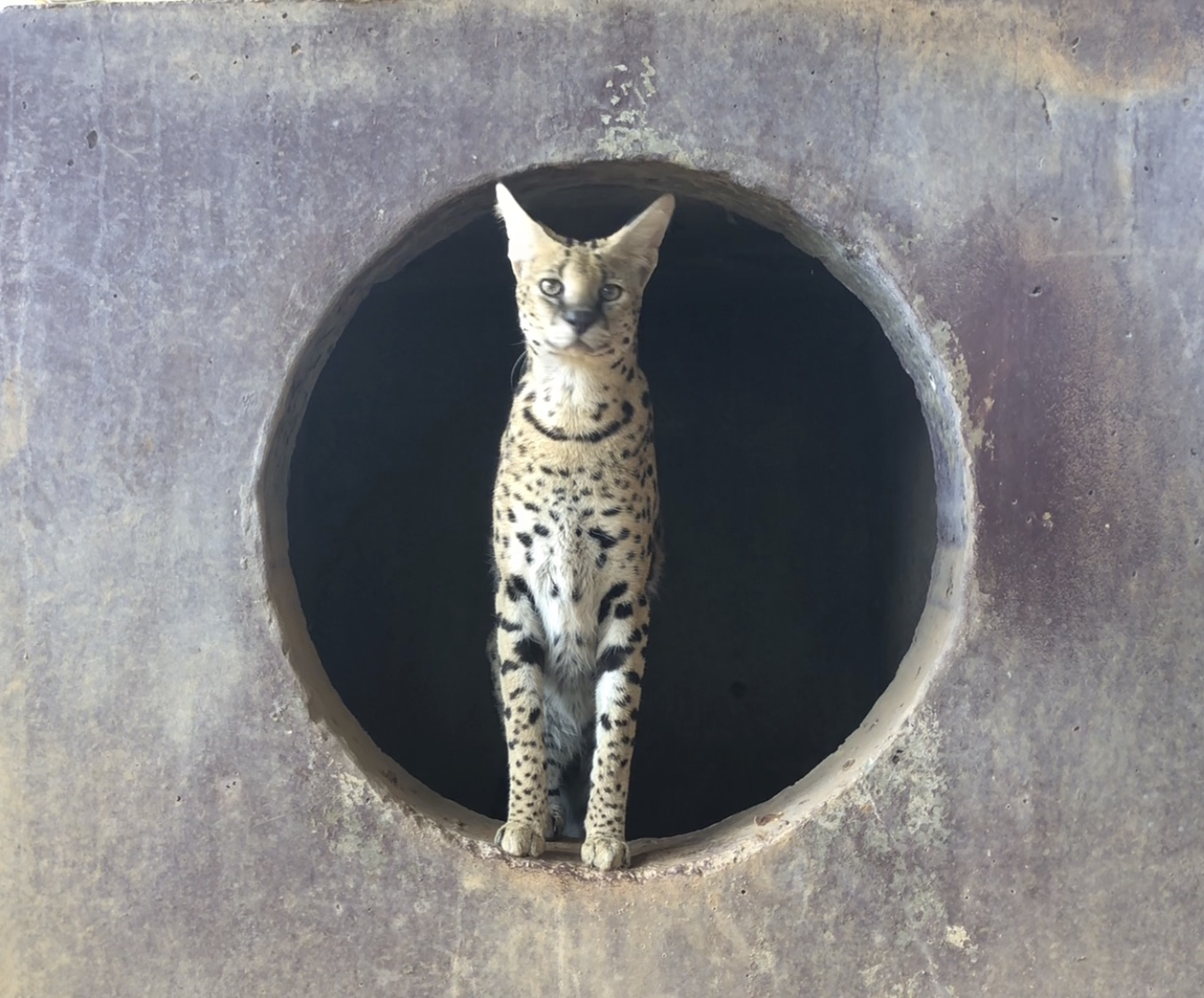 Meet Kevin the Serval!
