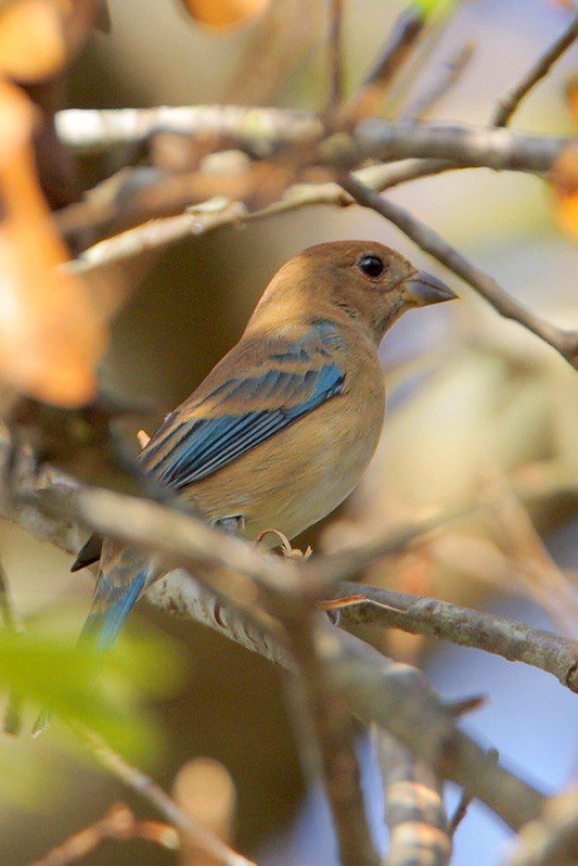 Indigo Bunting (female)