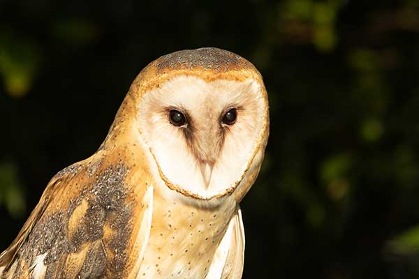 New Barn Owls