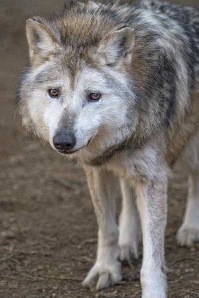 M728 George Mexican Gray Wolf Southwest Wildlife Scottsdale Arizona photo by WJ Wheaton
