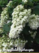 Snowflake Hydrangea