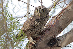 Owl Prowls in West Houston @ Edith L. Moore Nature Sanctuary