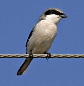 Beak of the Week: Loggerhead Shrike