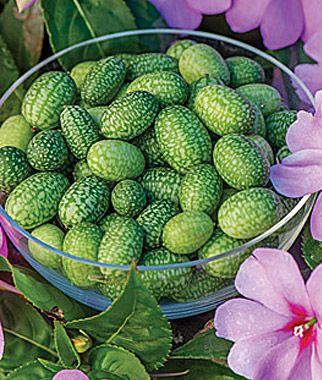 'Mexican Sour' Gherkin