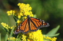 Monarch Ecology, Biology & Citizen Science Workshop