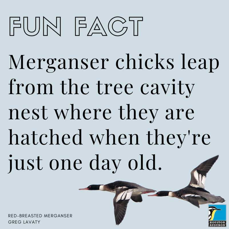 Merganser chicks fun fact
