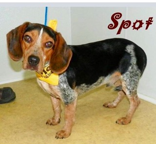 Spot - ADOPTED