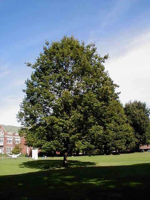 """Red Oak - Pack of 5 Seedlings (12""""-16"""")"""