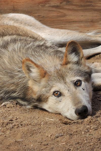 M921 Amadeus Mexican Gray Wolf Southwest Wildlife Scottsdale Arizona