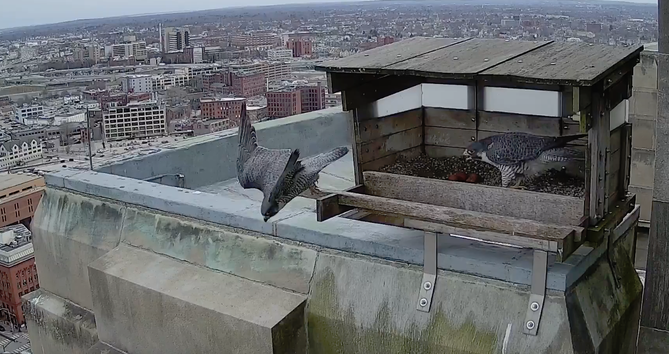 Audubon Society of Rhode Island Bird Cam Providence Peregrine Falcons Common Raven Zach and Lucy
